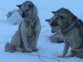 带你看雪橇犬哈士奇