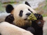 """大熊猫过端午吃粽子  动物园""""丰容""""效果好"""
